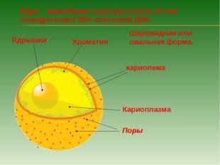 Ядро – важнейшая структура клетки. В нем сосредоточено 90% клеточной ДНК. Шар