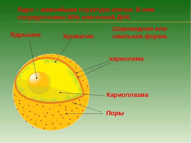 Ядро – важнейшая структура клетки. В нем сосредоточено 90% клеточной ДНК. Шар...