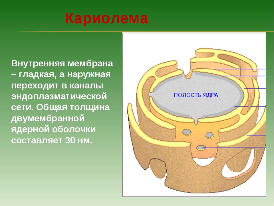 Внутренняя мембрана – гладкая, а наружная переходит в каналы эндоплазматическ...
