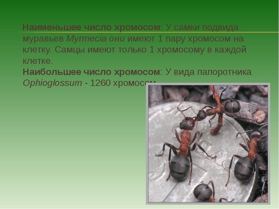 Наименьшее число хромосом: У самки подвида муравьев Myrmecia они имеют 1 пар...