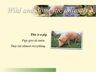 Pigs give us meat. They eat almost everything. This is a pig.