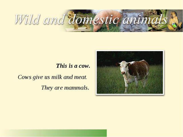 Cows give us milk and meat. They are mammals. This is a cow.