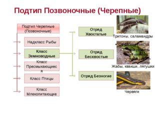 Подтип Позвоночные (Черепные) Подтип Черепные (Позвоночные) Надкласс Рыбы Кла