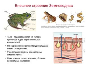 Внешнее строение Земноводных Тело подразделяется на голову, туловище и две па