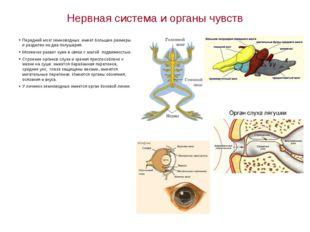 Нервная система и органы чувств Передний мозг земноводных имеет большие разме