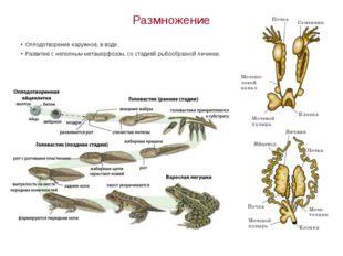 Размножение Оплодотворение наружное, в воде. Развитие с неполным метаморфозом