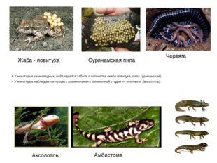У некоторых земноводных наблюдается забота о потомстве (жаба-повитуха, пипа с