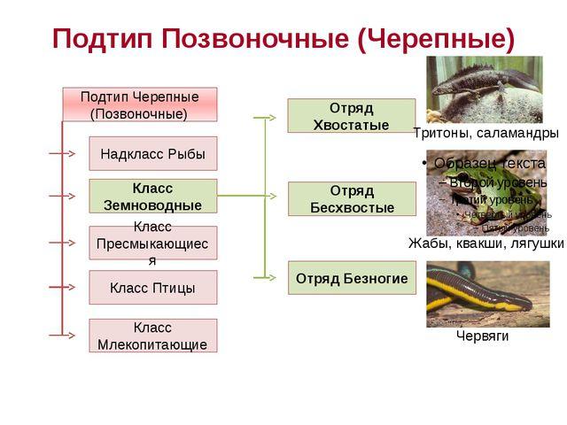 Подтип Позвоночные (Черепные) Подтип Черепные (Позвоночные) Надкласс Рыбы Кла...