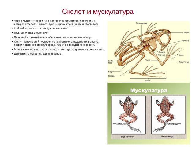 Скелет и мускулатура Череп подвижно соединен с позвоночником, который состоит...