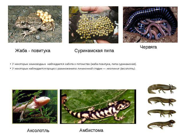 У некоторых земноводных наблюдается забота о потомстве (жаба-повитуха, пипа с...