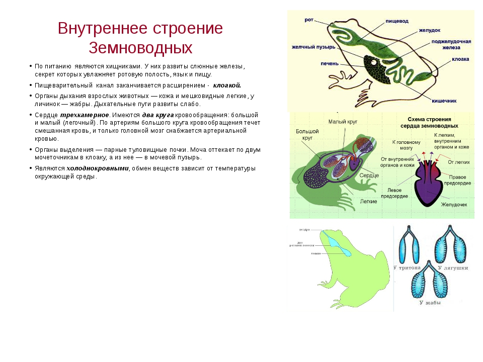 Внутреннее строение Земноводных По питанию являются хищниками. У них развиты...