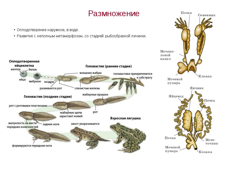 Размножение Оплодотворение наружное, в воде. Развитие с неполным метаморфозом...