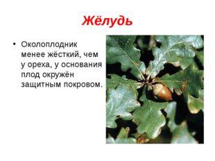 Жёлудь Околоплодник менее жёсткий, чем у ореха, у основания плод окружён защи