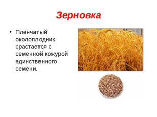 Зерновка Плёнчатый околоплодник срастается с семенной кожурой единственного с