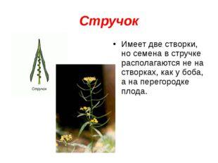 Стручок Имеет две створки, но семена в стручке располагаются не на створках,