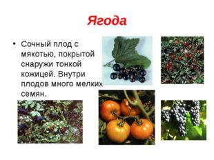 Ягода Сочный плод с мякотью, покрытой снаружи тонкой кожицей. Внутри плодов м