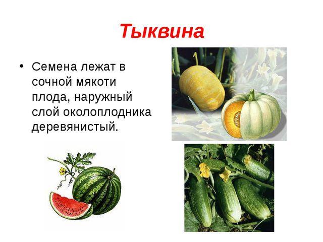 Тыквина Семена лежат в сочной мякоти плода, наружный слой околоплодника дерев...