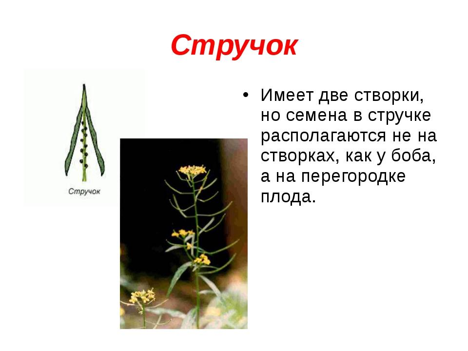 Стручок Имеет две створки, но семена в стручке располагаются не на створках,...