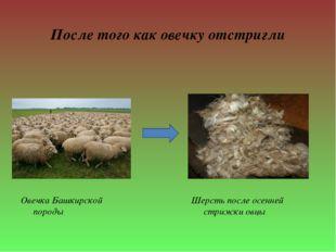 После того как овечку отстригли Овечка Башкирской породы Шерсть после осенней