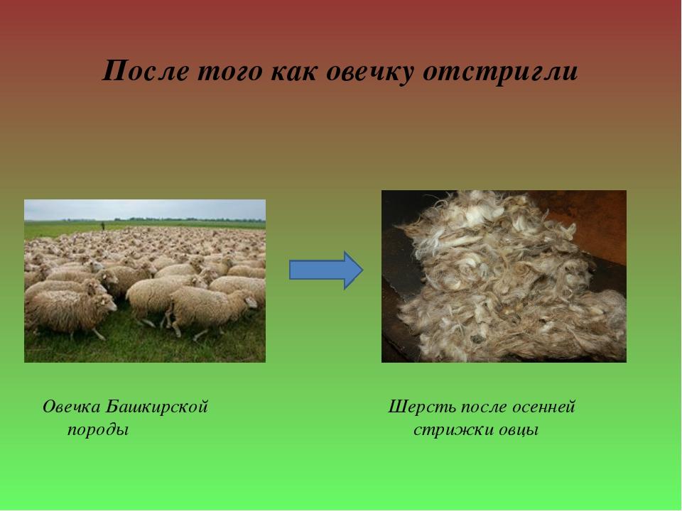 После того как овечку отстригли Овечка Башкирской породы Шерсть после осенней...