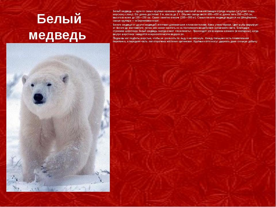 Белый медведь Белый медведь— один из самых крупных наземных представителей м...