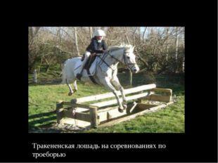 Тракененская лошадь на соревнованиях по троеборью