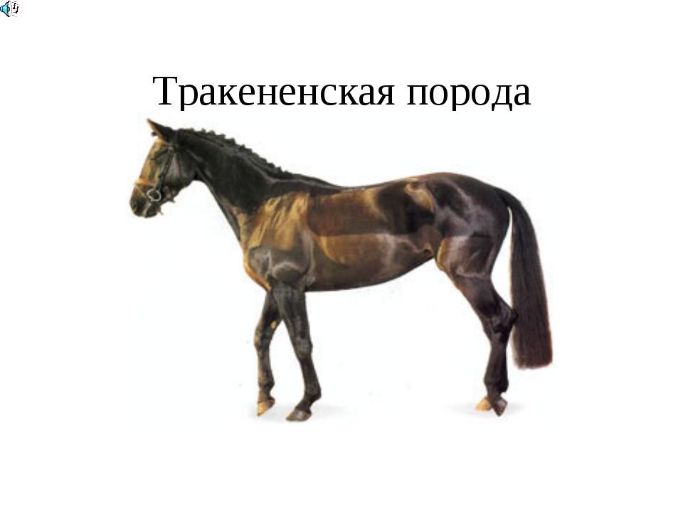 Тракененская порода