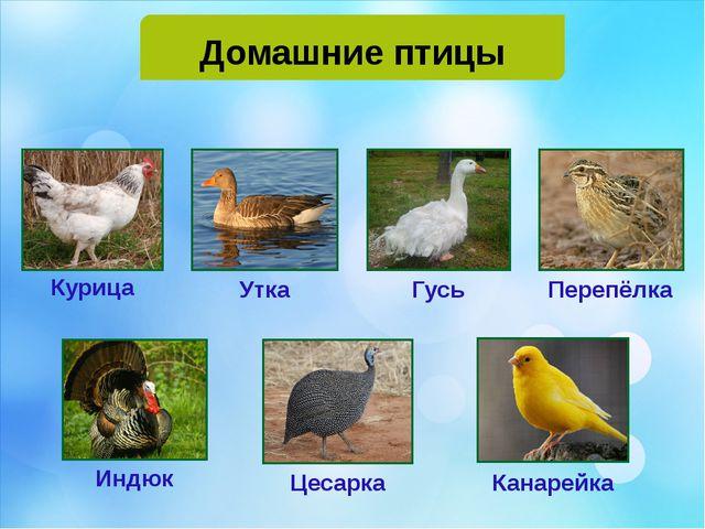 Домашние птицы Курица Утка Гусь Перепёлка Индюк Цесарка Канарейка