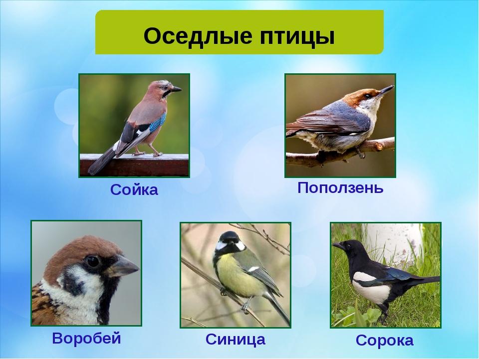 Оседлые птицы Воробей Сойка Поползень Сорока Синица