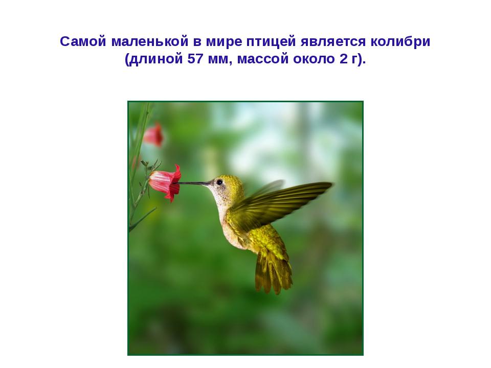 Самой маленькой в мире птицей является колибри (длиной 57 мм, массой около 2...