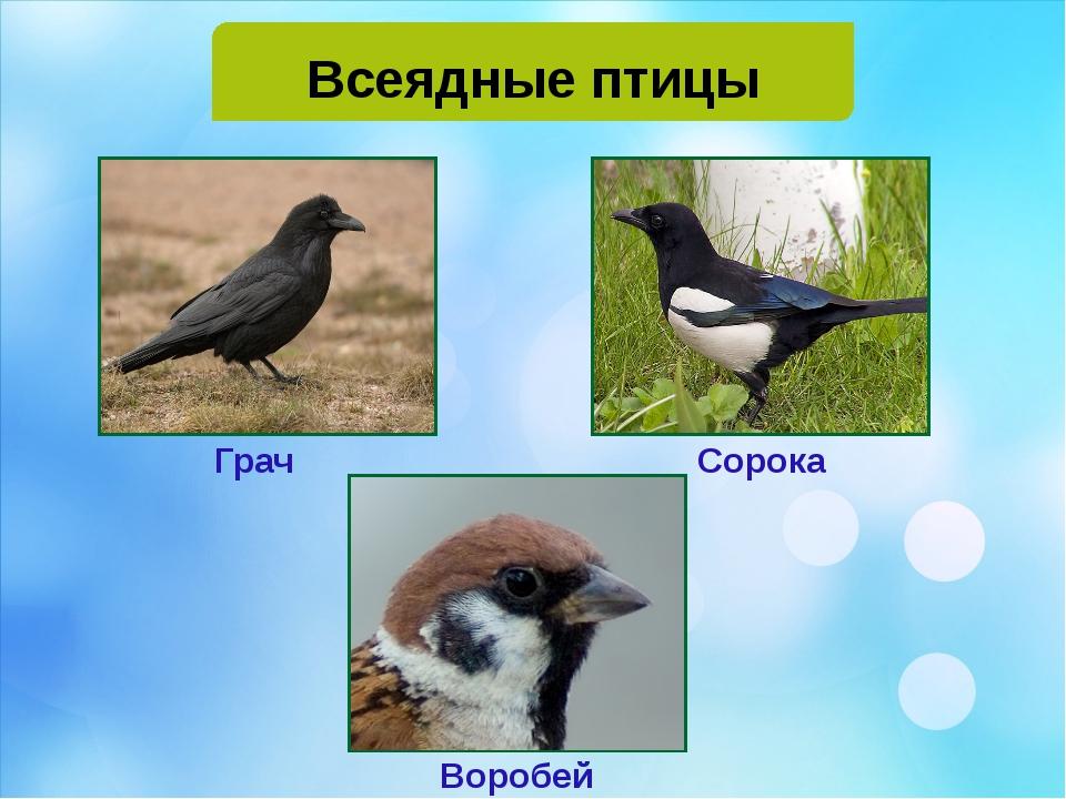 Всеядные птицы Грач Сорока Воробей