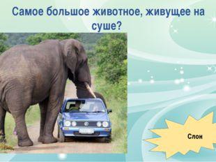 Самое большое животное, живущее на суше? Слон