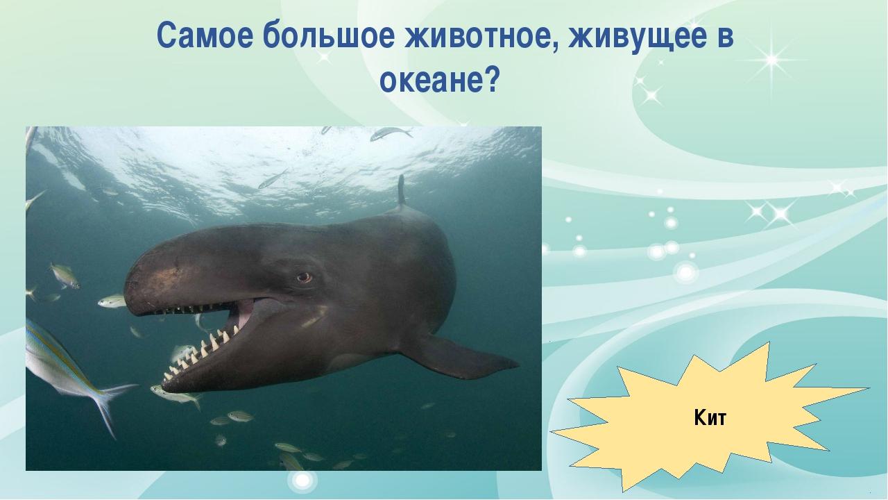 Самое большое животное, живущее в океане? Кит