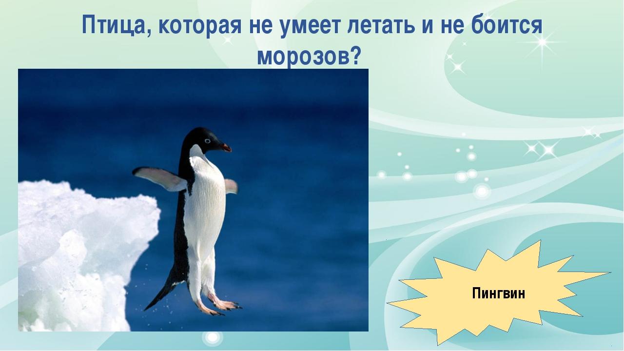 Птица, которая не умеет летать и не боится морозов? Пингвин