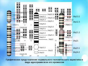 Графическое представление нормального человеческого кариотипа в виде идеограм