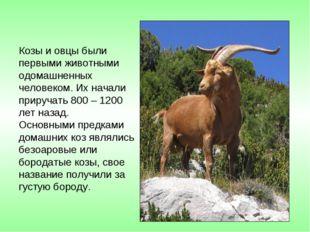 Козы и овцы были первыми животными одомашненных человеком. Их начали приручат