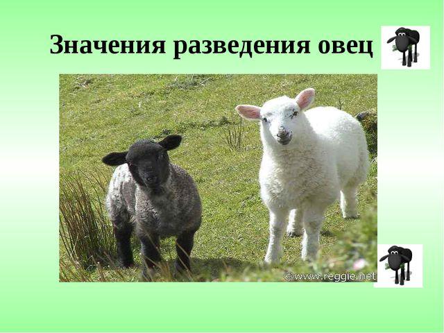 Значения разведения овец