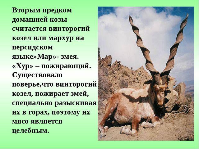 Вторым предком домашней козы считается винторогий козел или мархур на персидс...
