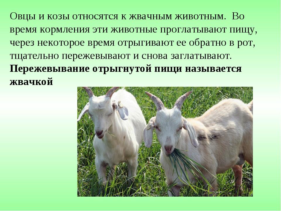 Овцы и козы относятся к жвачным животным. Во время кормления эти животные про...