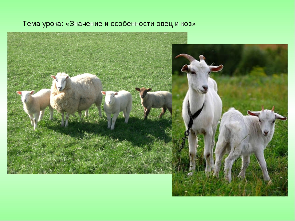 Тема урока: «Значение и особенности овец и коз»