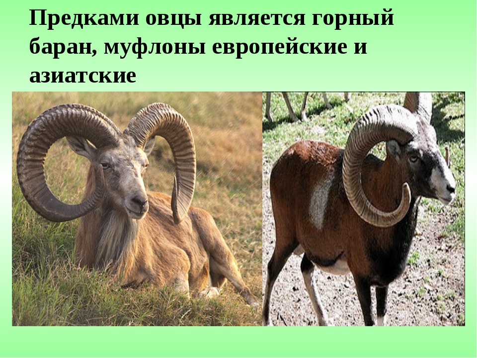 Предками овцы является горный баран, муфлоны европейские и азиатские