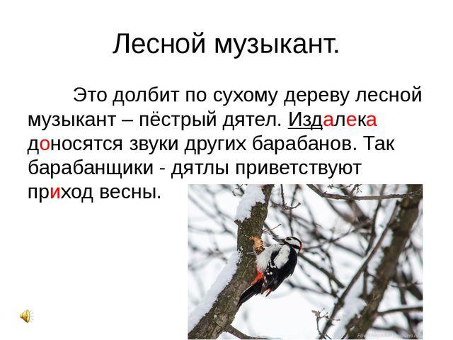 Лесной музыкант. Это долбит по сухому дереву лесной музыкант – пёстрый дяте...