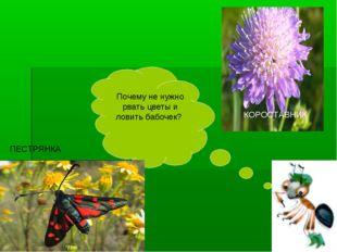 Почему не нужно рвать цветы и ловить бабочек? КОРОСТАВНИК ПЕСТРЯНКА