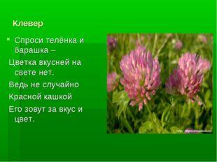 Клевер Спроси телёнка и барашка – Цветка вкусней на свете нет. Ведь не случай