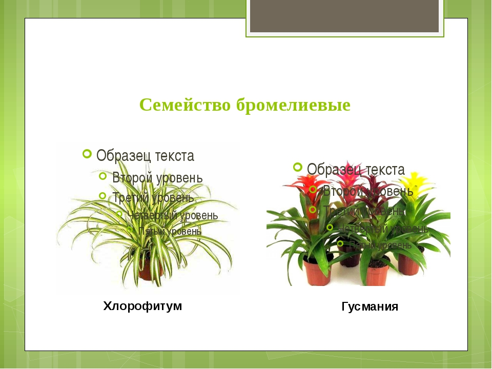 Семейство бромелиевые Хлорофитум Гусмания
