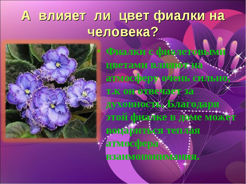 А влияет ли цвет фиалки на человека? Фиалки с фиолетовыми цветами влияют на а...