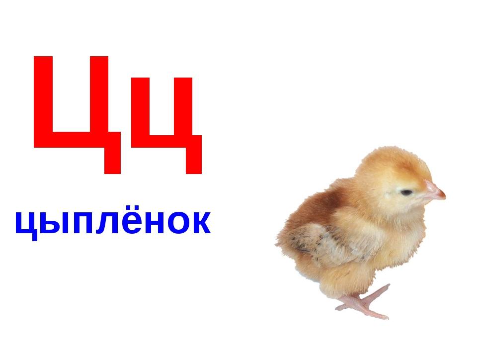 Цц цыплёнок