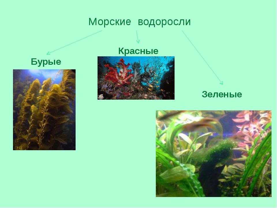 Морские водоросли Бурые Красные Зеленые