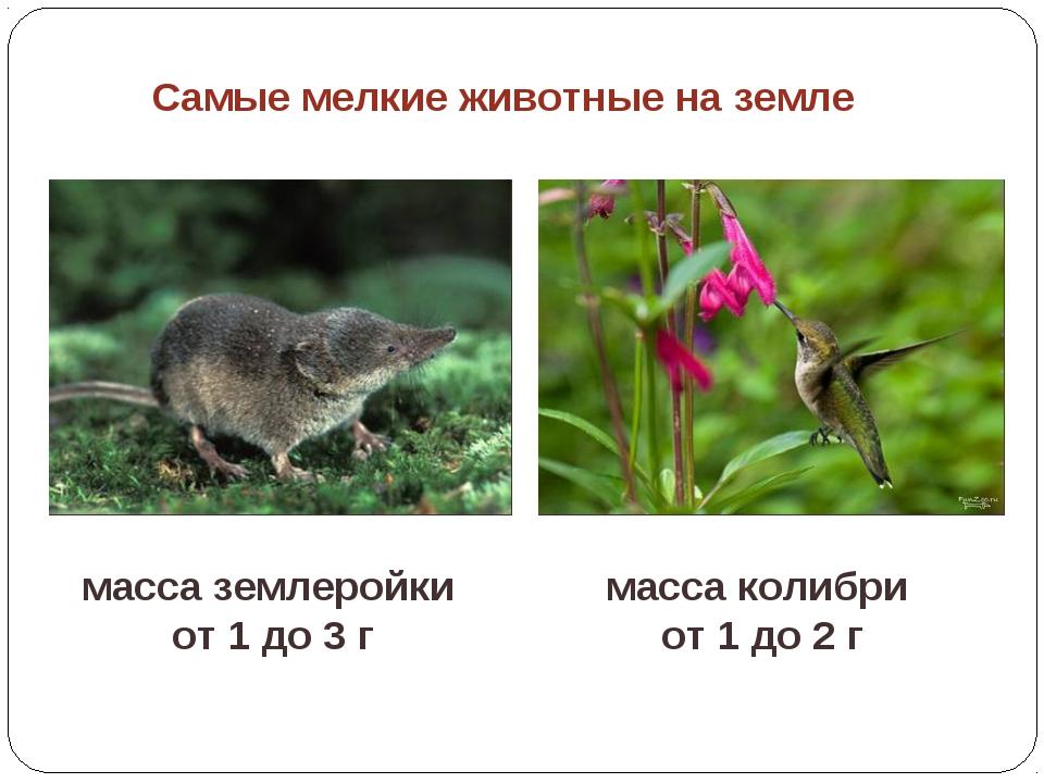 Самые мелкие животные на земле масса колибри от 1 до 2 г масса землеройки от...