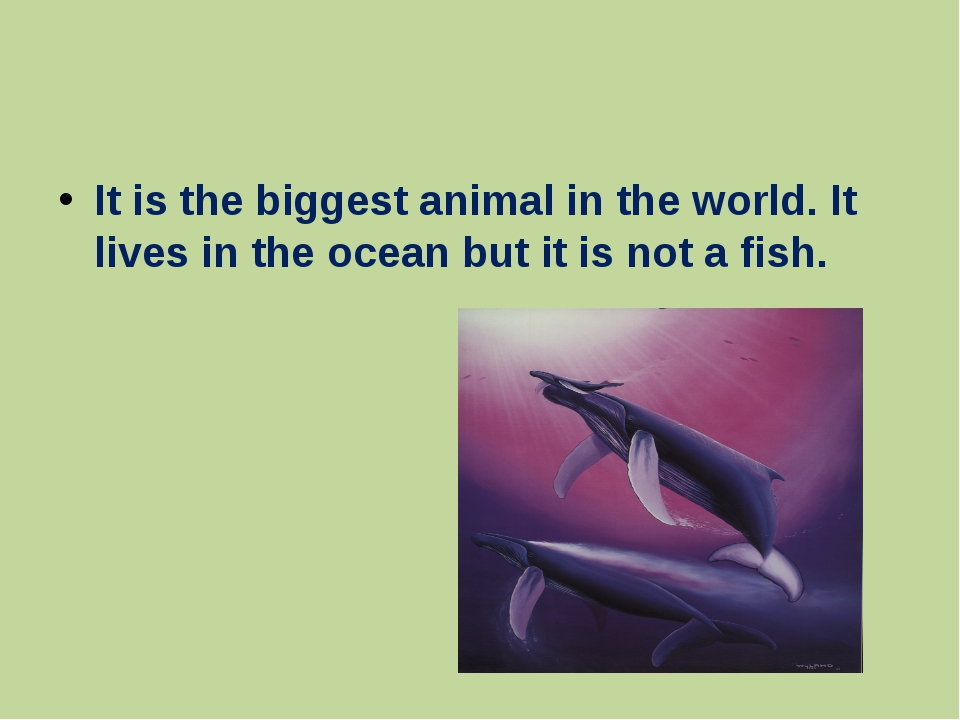 It is the biggest animal in the world. It lives in the ocean but it is not a...